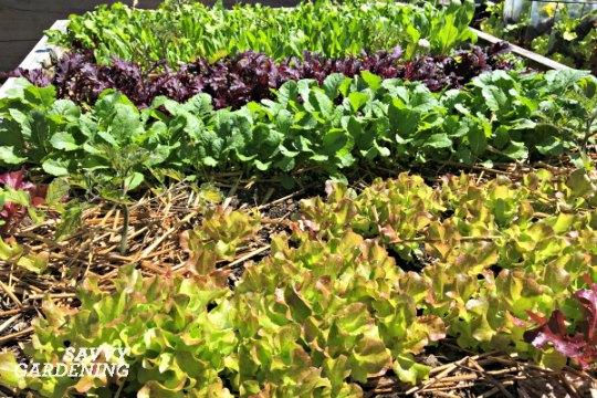 Mulch salad greens to keep soil moist.