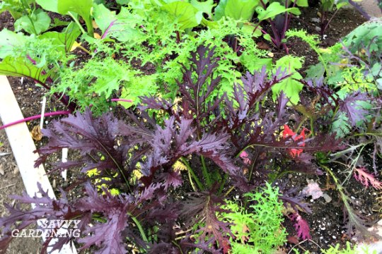 Mizuna is both fast and easy to grow in a salad garden.