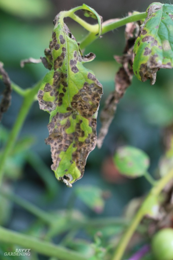 Septoria leaf spot tomato disease