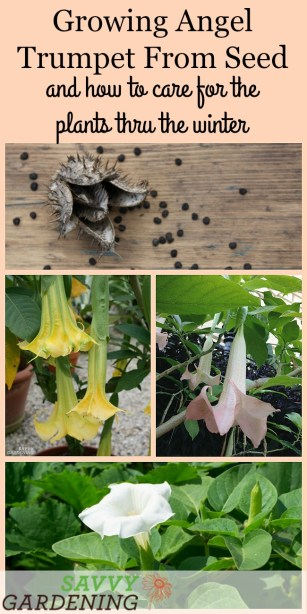 Growing angel trumpet from seed is easier than you think.