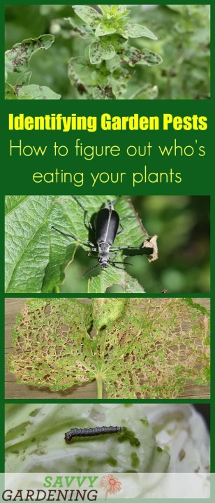 Identifying garden pests is easy with these tips on how to figure out who's eating your plants.