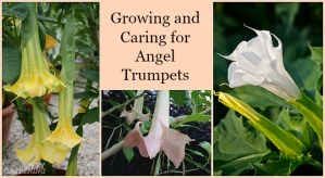 Growing angel trumpets from seed isn't difficult, if you follow these instructions.