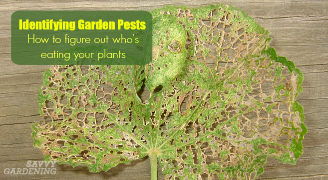 Identifying Garden Pests: How to figure out who's eating your plants.