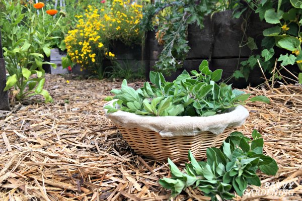 Greek oregano is easy to grow in a culinary herb garden.