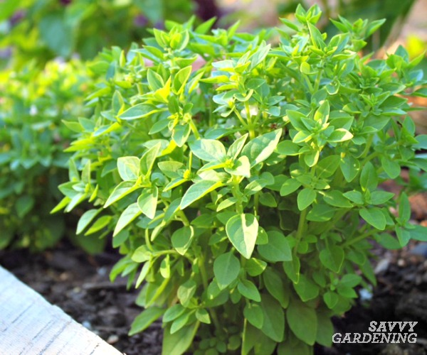 Basil is a popular and easy-to-grow culinary herb.