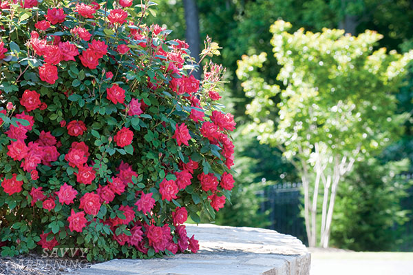With a regular pruning, low-maintenance roses can become a superstar focal point in the garden. (AD)