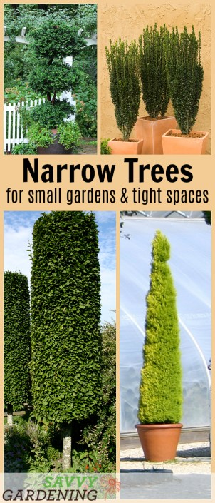 10 Beautiful Narrow Trees for Small Gardens and Tight Spaces