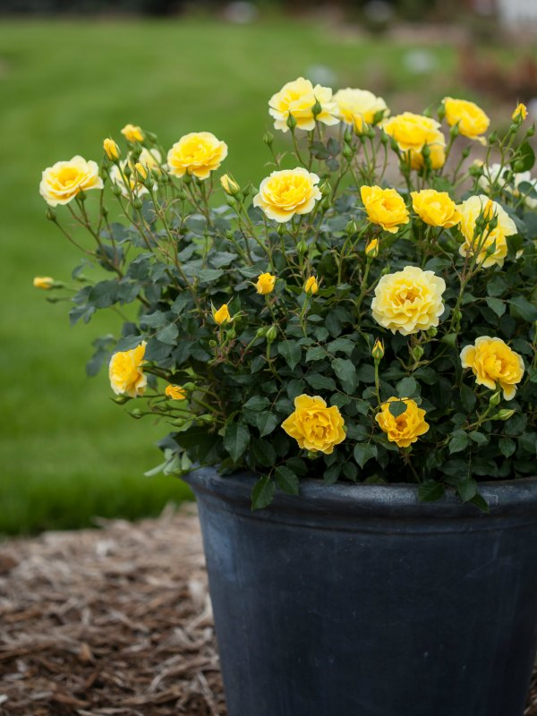 Caring for container-grown roses is easy, if you follow a few important steps. (AD)