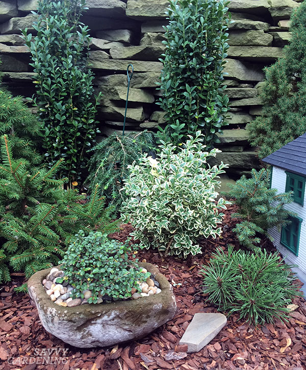I know I said I wasn't going to talk about fairy gardening, but this is technically a miniature garden that had train tracks and buildings and people. This photo illustrates a few miniature shrubs that would work in a small garden.