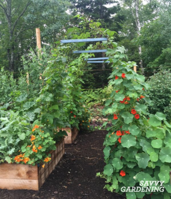 Adding a pole bean tunnel to an edible garden design will boost production and look fantastic.