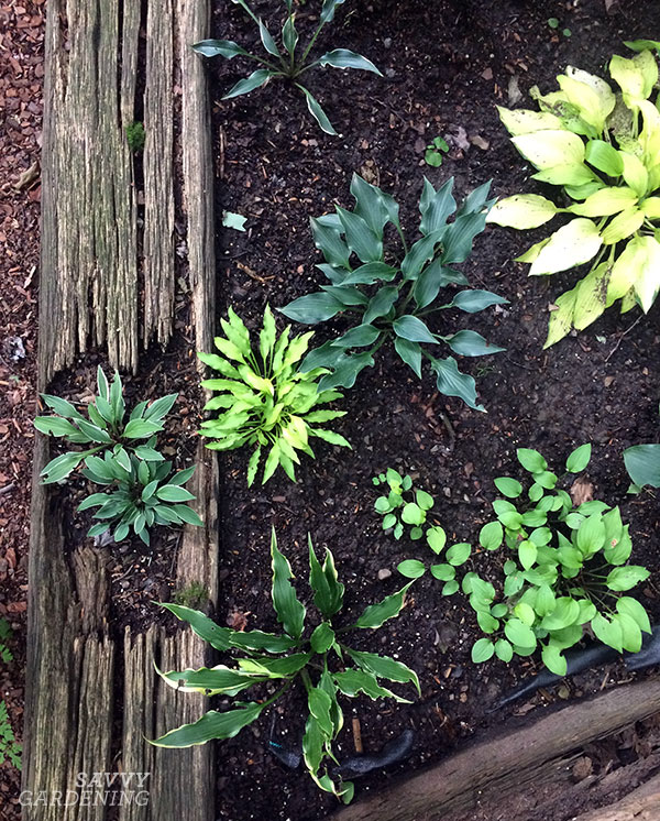 Miniature hostas in the ground and in rotting wood!
