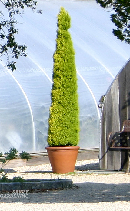 Narrow Trees For Containers And Small Gardens.