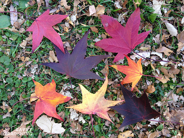 Columnar Sweetgum Varieties Are Exceptional Narrow, But Tall, Trees For  Small Spaces.