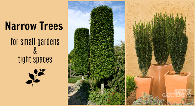 10 Narrow Trees for Small Gardens and Tight Spaces