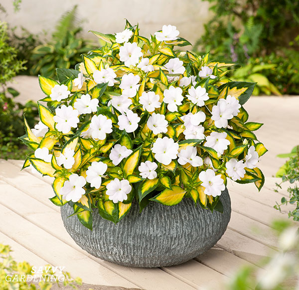 """SunPatiens with the word """"tropical"""" in their name have lovely, two-tone variegated foliage. This is Vigorous Tropical White. (AD)"""