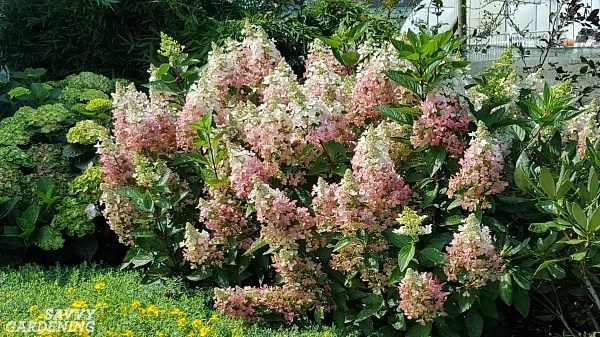 Hydrangea paniculata provides colorful flowers and is incredibly cold tolerant. (AD)