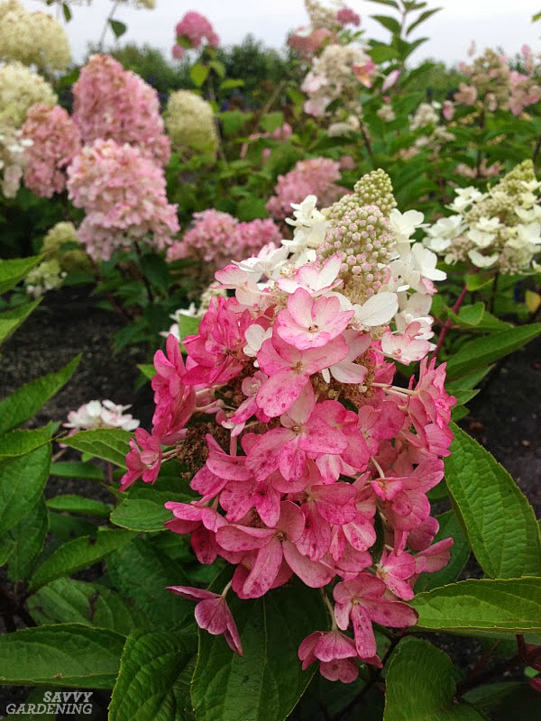 Three exceptionally long-blooming and cold-tolerant hydrangeas for the landscape. (AD)