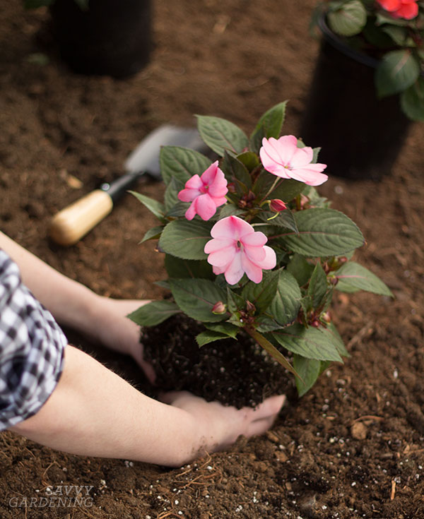 Plant SunPatiens in rich, well-drained soil. (AD)