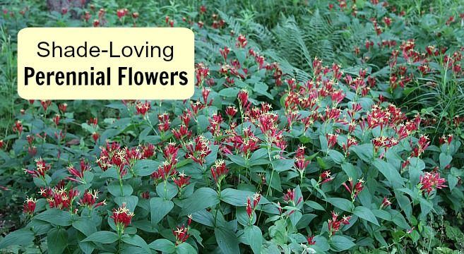 There are many flowering perennials for the shade.