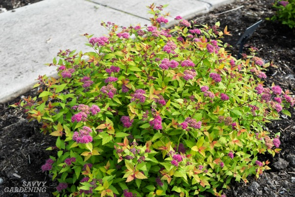 dwarf flowering shrubs small