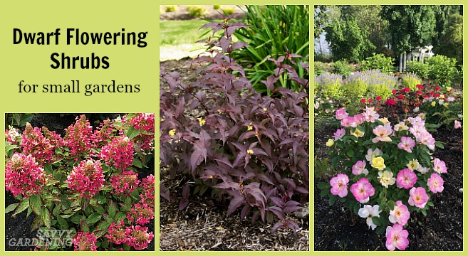 Savvy Gardening & Dwarf Flowering Shrubs for Small Gardens and Landscapes
