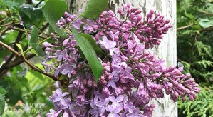 Tips for pruning lilacs