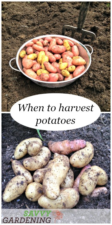 Learn when and how to harvest potatoes.