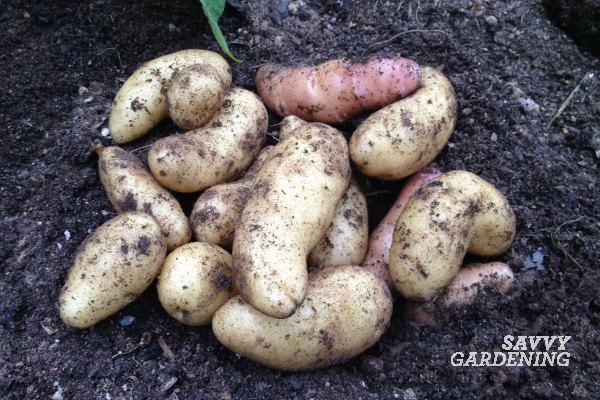 Learn how to harvest and store homegrown potatoes.