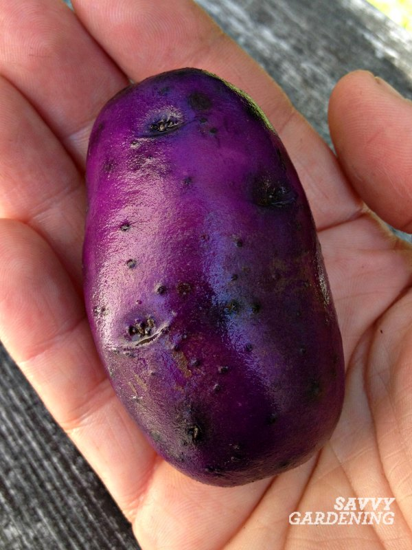 whento harvest potatoes from garden