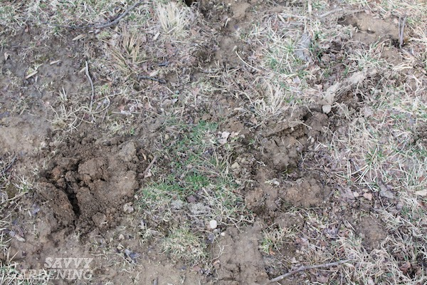 Moles in the yard can cause a lot of damage.