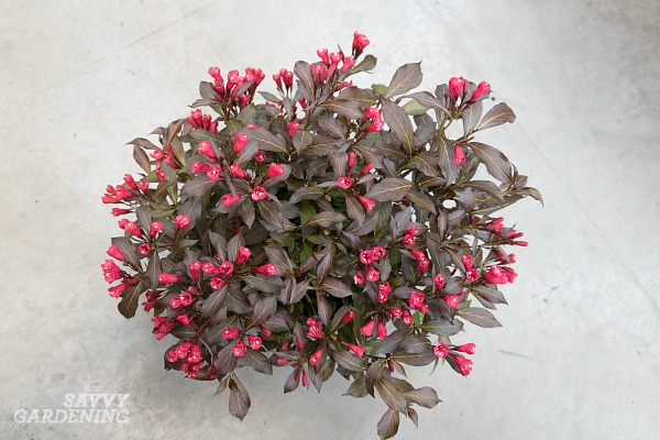 4 great shrubs with colorful foliage. (AD)