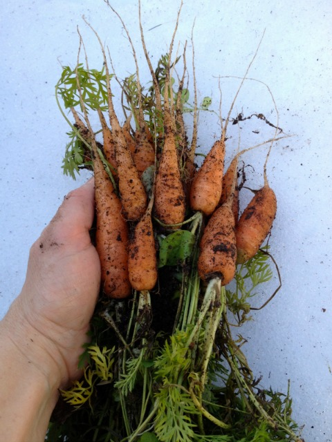 Winter carrots are easy to grow in a winter cold frame.