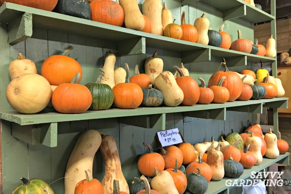 Learn how to harvest and store winter squash.