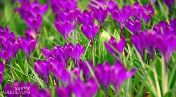 The Best Spring-Blooming Bulbs with Deer-Resistance (AD)