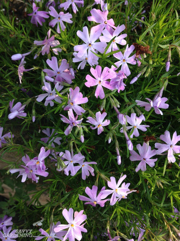 Creeping phlox makes a useful year-round groundcover.