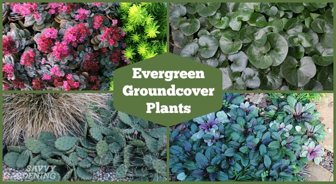 20 Evergreen Groundcover Plants for Sun and Shade