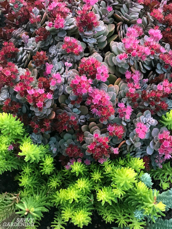 Sedums: Evergreen Groundcovers that Bloom