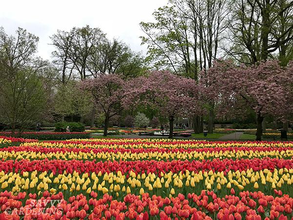 Stripes of spring-flowering bulbs