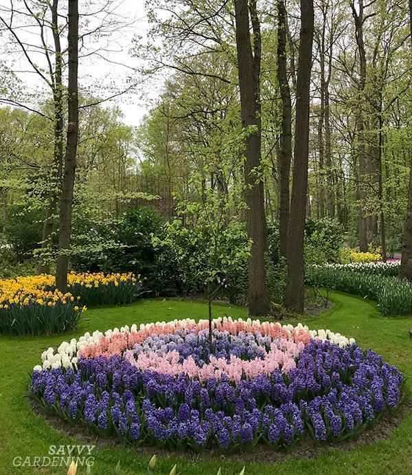Hyacinth bulbs planted around a tree at the Keukenhof