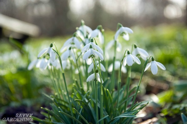 Deer-resistant bulbs include snowdrops and many others. (AD)