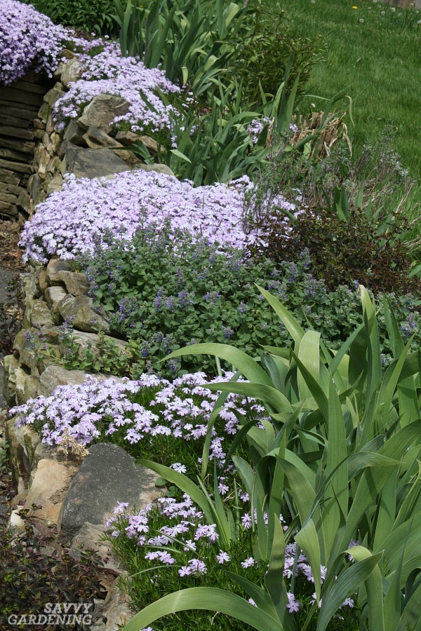 Creeping phlox as a groundcover.