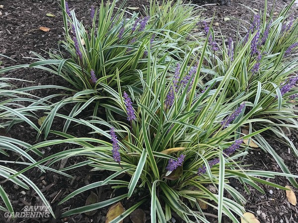 Variegated lilyturf is an evergreen groundcover.