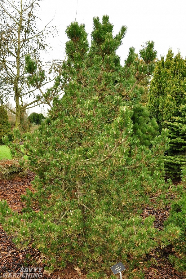 The best compact evergreen trees for yards.