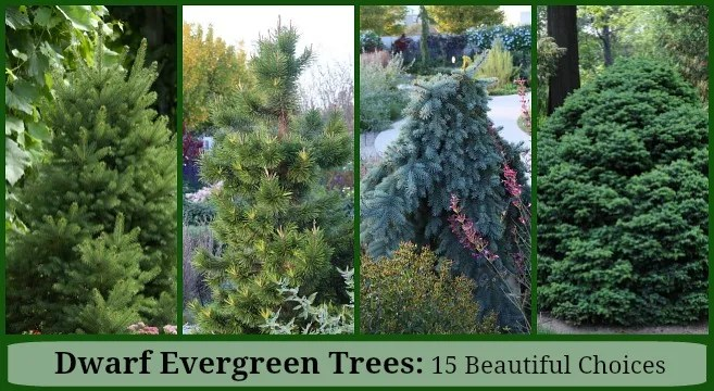15 Compact Evergreen Trees for the Landscape