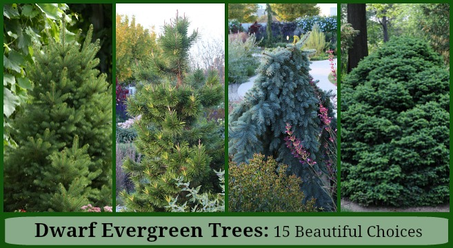 Dwarf Evergreen Trees: 15 Exceptional Choices for the Yard