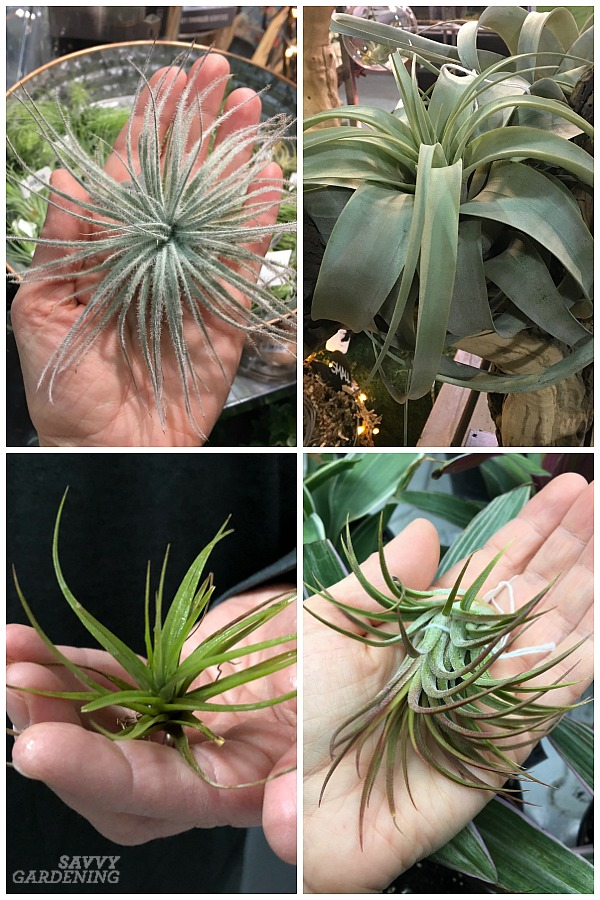 How to take care of air plants in your home
