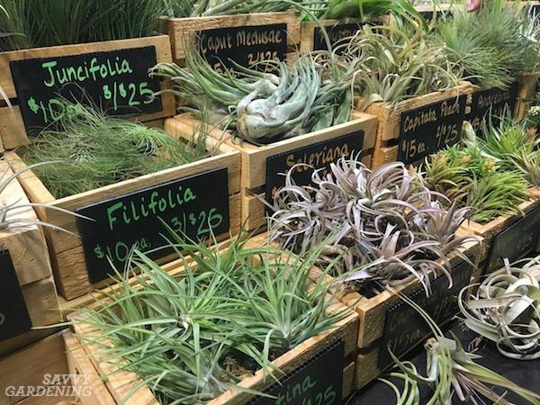Air plant varieties for gardeners