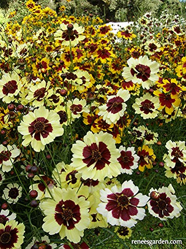 New plants for 2019: This Butterfly Coreopsis 'Incredible' is a pollinator magnet.
