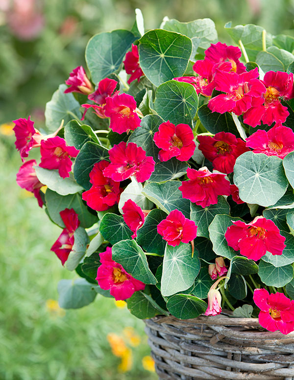 """Because of its compact nature, Nasturtium Baby Rose is perfect for small spaces. It also made our """"hot new plants for 2019"""" list!"""