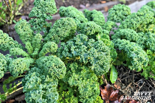Winterbor kale is one of the hardiest vegetables for a winter garden.